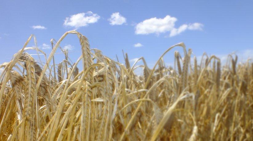 imagen-campo-cebada-cosecha